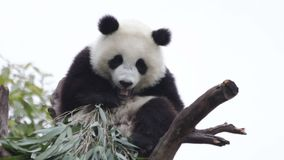 Χαριτωμένο μικρό Cub της Panda είναι καταψύχοντας έξω στο δέντρο, Κίνα φιλμ μικρού μήκους