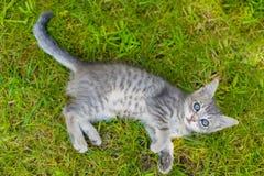 Χαριτωμένο μπλε eyed παιχνίδι γατών γατακιών στη χλόη Στοκ Φωτογραφία