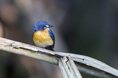Χαριτωμένο μπλε πουλί που ονομάζεται το μαγγρόβιο μπλε Flycatcher, θηλυκό Στοκ φωτογραφία με δικαίωμα ελεύθερης χρήσης