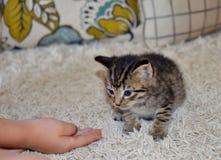 Χαριτωμένο μπλε eyed γατάκι στον τάπητα στοκ εικόνες με δικαίωμα ελεύθερης χρήσης