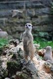 Χαριτωμένο μόνιμο ρολόι meerkat πέρα από την οικογένειά του στοκ φωτογραφία με δικαίωμα ελεύθερης χρήσης
