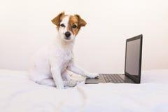 Χαριτωμένο νέο μικρό σκυλί που εργάζεται στο lap-top στο σπίτι Κρεβατοκάμαρα indoors στοκ φωτογραφία