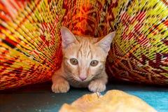 χαριτωμένο νέο παιχνίδι γατακιών γατών/γατακιών στο ζωηρόχρωμο χαλί Στοκ Φωτογραφία