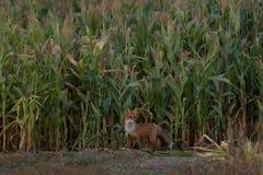 Χαριτωμένο νέο cub αλεπούδων στο υπόβαθρο χλόης ένας κόλπος ελαφριά Πετρούπολη ST της Φινλανδίας βραδιού ακτών στοκ εικόνες