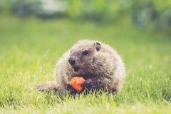 Χαριτωμένο νέο Groundhog με το ανοικτό στόμα κρατά ένα καρότο στη χλόη χλόης Στοκ Φωτογραφία