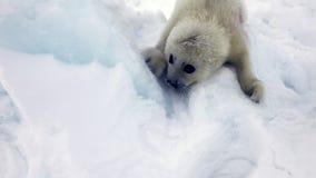 Χαριτωμένο νεογέννητο κουτάβι σφραγίδων στον πάγο που εξετάζει τη κάμερα φιλμ μικρού μήκους