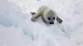 Χαριτωμένο νεογέννητο κουτάβι σφραγίδων στον πάγο που εξετάζει τη κάμερα απόθεμα βίντεο