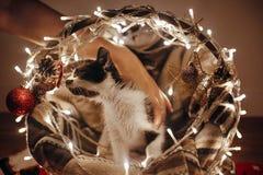 Χαριτωμένο παιχνίδι γατακιών στο καλάθι με τα φω'τα και τις διακοσμήσεις κάτω από το chr στοκ εικόνες