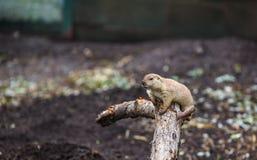 Χαριτωμένο παιχνίδι chipmunk σε ένα κούτσουρο Στοκ Φωτογραφίες