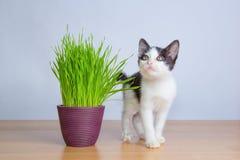 Χαριτωμένο παιχνίδι γατών μωρών εκτός από τη χλόη γατών wheatgrass oor Στοκ Εικόνες