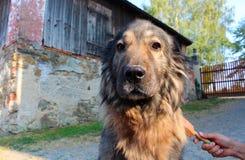Χαριτωμένο παλαιό σκυλί κατά τη διάρκεια του βουρτσίσματος Στοκ φωτογραφία με δικαίωμα ελεύθερης χρήσης