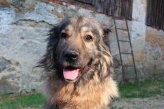 Χαριτωμένο παλαιό σκυλί Στοκ Φωτογραφίες