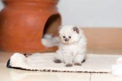 Χαριτωμένο περσικό γατάκι γατών Στοκ εικόνες με δικαίωμα ελεύθερης χρήσης