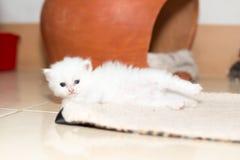 Χαριτωμένο περσικό γατάκι γατών Στοκ εικόνα με δικαίωμα ελεύθερης χρήσης