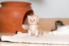 Χαριτωμένο περσικό γατάκι γατών Στοκ Φωτογραφία