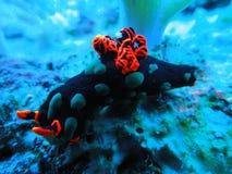 Χαριτωμένο πορτοκαλί και μαύρο Nudibranch υποβρύχιο στο Μαυρίκιο στοκ φωτογραφία με δικαίωμα ελεύθερης χρήσης