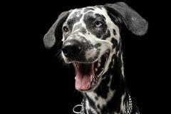 Χαριτωμένο πορτρέτο από τη Δαλματία στο μαύρο στούντιο φωτογραφιών υποβάθρου Στοκ Εικόνες