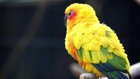 Χαριτωμένο πουλί παπαγάλων Conure ήλιων φιλμ μικρού μήκους
