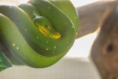 Χαριτωμένο πράσινο δέντρο python (viridis του Μορέλια), ένα είδος του NA python Στοκ Εικόνες