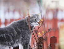 Χαριτωμένο ριγωτό γατάκι που περπατά στο χωριό και που μυρίζει branche στοκ εικόνα
