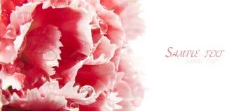 χαριτωμένο ροζ γαρίφαλων Στοκ Εικόνες