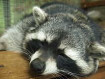 Χαριτωμένο ρύγχος ενός ρακούν ύπνου στοκ εικόνα