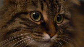 Χαριτωμένο ρύγχος μιας τιγρέ εσωτερικής γάτας που κοιτάζει στις διαφορετικές κατευθύνσεις απόθεμα βίντεο
