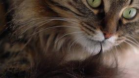 Χαριτωμένο ρύγχος μιας χνουδωτής τιγρέ γάτας που πλένεται απόθεμα βίντεο
