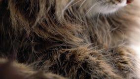 Χαριτωμένο ρύγχος μιας χνουδωτής τιγρέ γάτας που πλένεται φιλμ μικρού μήκους
