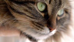 Χαριτωμένο ρύγχος μιας χνουδωτής τιγρέ γάτας φιλμ μικρού μήκους