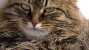 Χαριτωμένο ρύγχος μιας χνουδωτής τιγρέ γάτας απόθεμα βίντεο