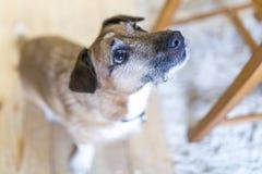 Χαριτωμένο σκυλάκι του Jack Russel που περιμένει μια απόλαυση ή μια αγάπη Στοκ Φωτογραφία