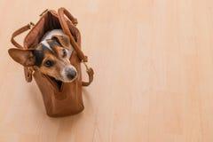 Χαριτωμένο σκυλάκι του Russell γρύλων σε μια τσάντα στοκ φωτογραφίες με δικαίωμα ελεύθερης χρήσης