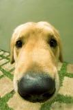 χαριτωμένο σκυλάκι Στοκ Εικόνες