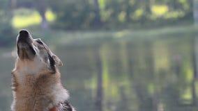 Χαριτωμένο σκυλί, ανήσυχο απόθεμα βίντεο