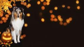 Χαριτωμένο σκυλί κόλλεϊ με την κολοκύθα Στοκ εικόνα με δικαίωμα ελεύθερης χρήσης