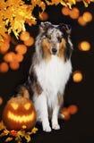 Χαριτωμένο σκυλί κόλλεϊ με την κολοκύθα Στοκ φωτογραφίες με δικαίωμα ελεύθερης χρήσης