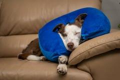 Χαριτωμένο σκυλί κόλλεϊ συνόρων σε έναν καναπέ, που φορά το μπλε διογκώσιμο περιλαίμιο στοκ εικόνα