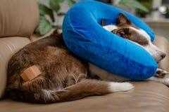 Χαριτωμένο σκυλί κόλλεϊ συνόρων σε έναν καναπέ, που φορά το μπλε διογκώσιμο περιλαίμιο στοκ εικόνες