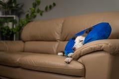 Χαριτωμένο σκυλί κόλλεϊ συνόρων σε έναν καναπέ, που φορά το μπλε διογκώσιμο περιλαίμιο στοκ φωτογραφία με δικαίωμα ελεύθερης χρήσης