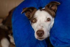 Χαριτωμένο σκυλί κόλλεϊ συνόρων σε έναν καναπέ, που φορά το μπλε διογκώσιμο περιλαίμιο στοκ εικόνα με δικαίωμα ελεύθερης χρήσης