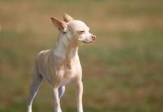 χαριτωμένο σκυλί λίγα Στοκ Εικόνες