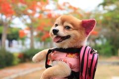 Χαριτωμένο σκυλί που φορά ένα πουκάμισο στοκ εικόνες