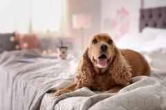 Χαριτωμένο σκυλί σπανιέλ κόκερ στο κρεβάτι στο σπίτι στοκ εικόνες