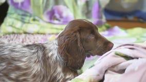 Χαριτωμένο σκυλί στο σπίτι, άνετο, κινηματογράφηση σε πρώτο πλάνο που βρίσκεται στο κρεβάτι απόθεμα βίντεο
