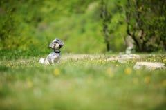 Χαριτωμένο σκυλί Bichon Havanese με το θερινό κούρεμα που απολαμβάνει τον ήλιο σε ένα όμορφο, πράσινο καθάρισμα Εκλεκτική εστίαση στοκ εικόνες