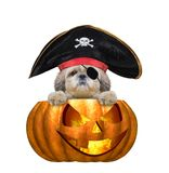 Χαριτωμένο σκυλί shitzu μαγισσών κολοκύθας αποκριών στο κοστούμι πειρατών - που απομονώνεται στο λευκό Στοκ Εικόνες