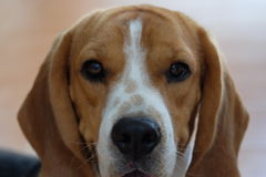 Χαριτωμένο σκυλί λαγωνικών Στοκ εικόνα με δικαίωμα ελεύθερης χρήσης