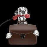 Χαριτωμένο σκυλί επιχειρηματιών εργαζομένων γραφείων με τη βαλίτσα ή τσάντα που απομονώνεται στο Μαύρο Στοκ Εικόνα
