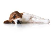 Χαριτωμένο σκυλί κουταβιών λαγωνικών πορτρέτου στοκ φωτογραφία